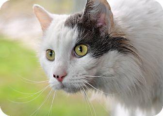 Domestic Longhair Cat for adoption in Wilmington, Delaware - Snuggles