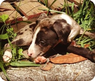 Catahoula Leopard Dog/Pit Bull Terrier Mix Puppy for adoption in Gainesville, Florida - Shakespeare