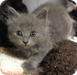 Domestic Longhair Kitten for adoption in Columbia, South Carolina - Alix