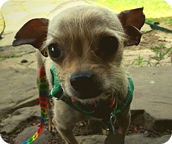 Chihuahua Dog for adoption in Fayetteville, Arkansas - Grover