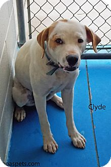 American Bulldog/Hound (Unknown Type) Mix Dog for adoption in Danielsville, Georgia - Clyde