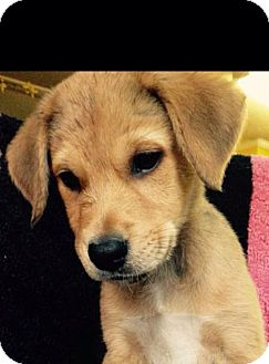 Shepherd (Unknown Type)/Hound (Unknown Type) Mix Puppy for adoption in Sagaponack, New York - Belle