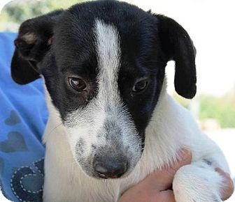 Labrador Retriever/Border Collie Mix Puppy for adoption in Kalamazoo, Michigan - Puddles