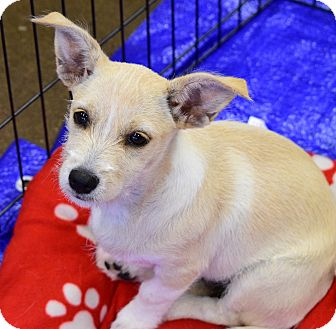 Cairn Terrier/Terrier (Unknown Type, Small) Mix Puppy for adoption in Scottsdale, Arizona - Viola