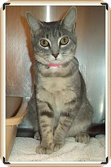 Domestic Shorthair Cat for adoption in Marietta, Georgia - CHANTEL