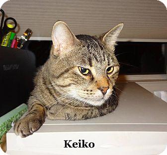 Domestic Shorthair Cat for adoption in Bentonville, Arkansas - Keiko