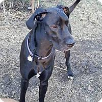 Adopt A Pet :: Brandy - Broomfield, CO
