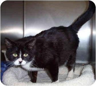 Domestic Shorthair Cat for adoption in Culpeper, Virginia - Precious
