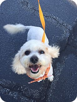 Poodle (Miniature) Dog for adoption in Newark, Delaware - Cheech