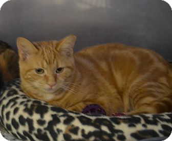 Domestic Shorthair Cat for adoption in Byron Center, Michigan - Blaise