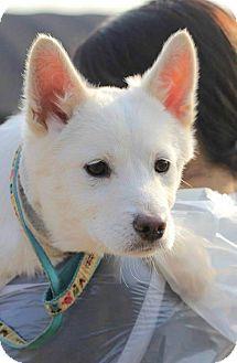Spitz (Unknown Type, Medium)/Jindo Mix Puppy for adoption in Smithtown, New York - Saturn