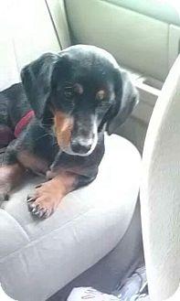 Basset Hound/Dachshund Mix Dog for adoption in Osteen, Florida - Little Girl