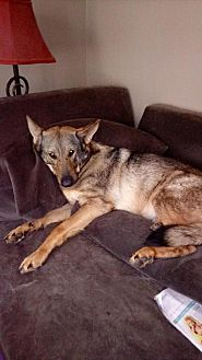 German Shepherd Dog Dog for adoption in Greensboro, North Carolina - Bear (CL)