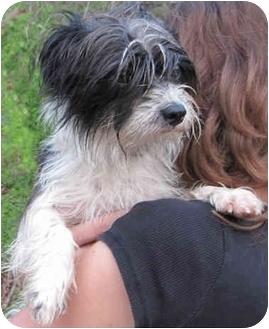 Havanese/Shih Tzu Mix Dog for adoption in Poway, California - Oliver