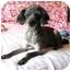 Photo 1 - Poodle (Standard) Dog for adoption in Marion, North Carolina - Missi