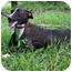 Photo 3 - Italian Greyhound/Labrador Retriever Mix Dog for adoption in kennebunkport, Maine - Lilah - Pending!