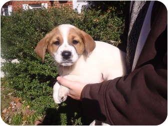 Collie/Labrador Retriever Mix Puppy for adoption in Bel Air, Maryland - Bernard