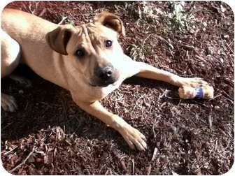 American Staffordshire Terrier Mix Dog for adoption in Portland, Maine - Sunshine