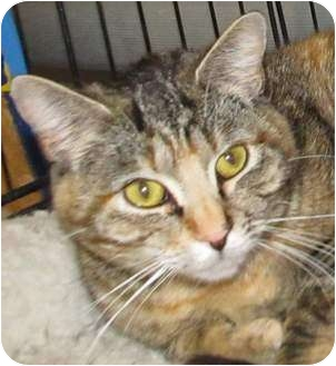 Domestic Shorthair Cat for adoption in Muskogee, Oklahoma - Julia