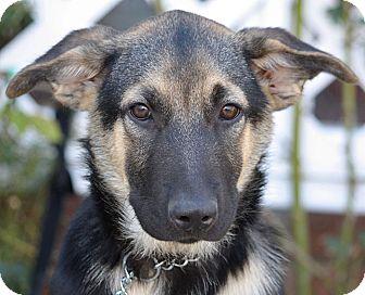 German Shepherd Dog Puppy for adoption in Los Angeles, California - Roddie von Yoda