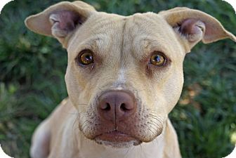 American Pit Bull Terrier Mix Dog for adoption in Yuba City, California - 05/28 Grace