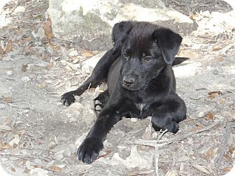 Dutch Shepherd/Labrador Retriever Mix Puppy for adoption in New Braunfels, Texas - Zeus