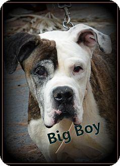 American Bulldog Mix Dog for adoption in Miami, Florida - Big Boy