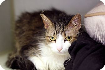 Domestic Longhair Cat for adoption in Chicago, Illinois - Centipede
