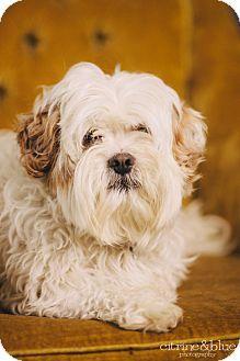 Lhasa Apso Dog for adoption in Portland, Oregon - Shane