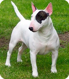 Bull Terrier Dog for adoption in Canoga Park, California - Ralphie
