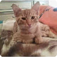 Adopt A Pet :: Orange Tabby Kitten - Alliance, OH