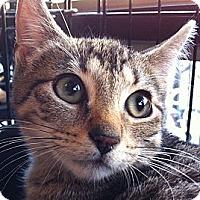 Adopt A Pet :: William - Brooklyn, NY