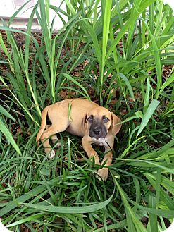 Black Mouth Cur Mix Puppy for adoption in Ocean Springs, Mississippi - Nugget