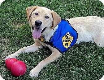 Labrador Retriever Mix Dog for adoption in Coppell, Texas - Beignet