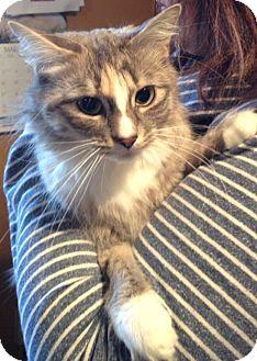 Domestic Longhair Cat for adoption in Pincher Creek, Alberta - Chloe
