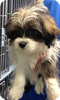 Shih Tzu/Bichon Frise Mix Puppy for adoption in Fairview Heights, Illinois - Mars