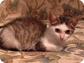 American Shorthair Kitten for adoption in Tampa, Florida - Jordan
