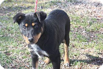 Rottweiler/Australian Cattle Dog Mix Puppy for adoption in Conway, Arkansas - Rex Allen