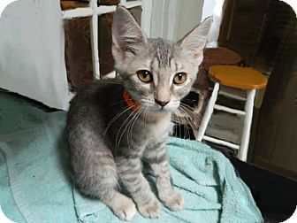 Domestic Shorthair Kitten for adoption in The Colony, Texas - Portabella