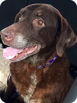 Labrador Retriever Mix Dog for adoption in Wauconda, Illinois - ANNIE