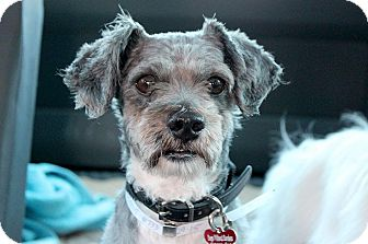 Terrier (Unknown Type, Small)/Poodle (Miniature) Mix Dog for adoption in Encino, California - Beamer