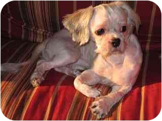Shih Tzu/Poodle (Miniature) Mix Dog for adoption in Brooklyn, New York - McGee