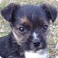 Adopt A Pet :: Simon - Minneapolis, MN