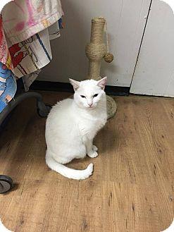 Domestic Shorthair Cat for adoption in Acushnet, Massachusetts - Boo