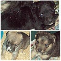 Adopt A Pet :: Butterball litter - Pompton Lakes, NJ