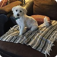Adopt A Pet :: Jon-Snow-1-2YRS - Los Angeles, CA