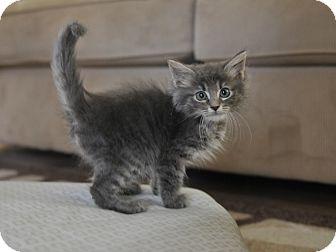 Domestic Mediumhair Kitten for adoption in Seattle, Washington - Grayson