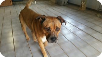 Boxer Mix Dog for adoption in guthrie, Oklahoma - Turbo
