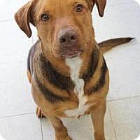 Hound (Unknown Type) Mix Dog for adoption in Yukon, Oklahoma - Cecil