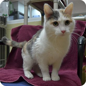 Domestic Shorthair Cat for adoption in Wheaton, Illinois - Merryweather